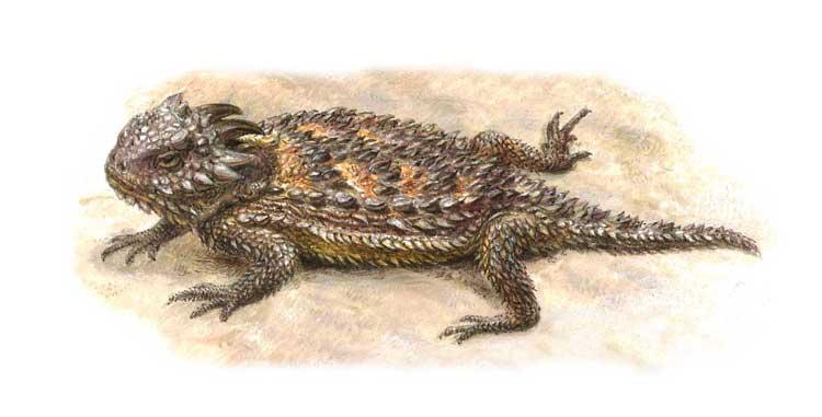 ТЕХАССКАЯ ЖАБОВИДНАЯ, или рогатая, ящерица из семейства игуан водится главным образом в полупустынях на задапе США. Atlas Edition's Artwork